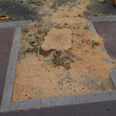 Platanes abattus à Montrouge – Audit phytosanitaire
