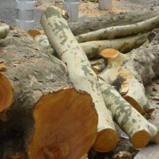Abattage des platanes : je poursuis le combat